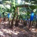 2סיור גליל עליון מטע בננות עידן הפרי 24.03.14
